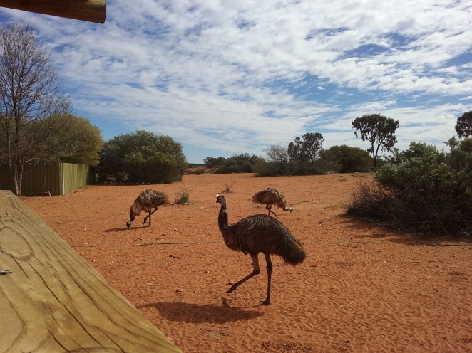 Emus... not in the wild however, in a pen at a roadside stop